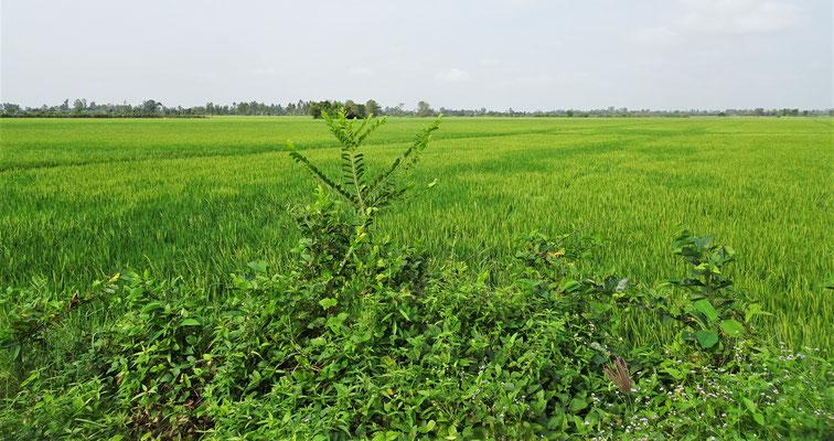 Ihre Reisfelder.