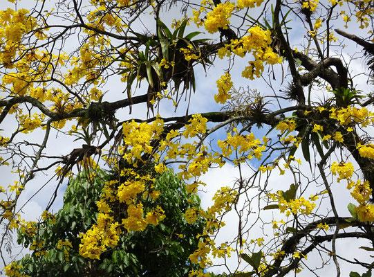 .....gelben Blütenbaum.