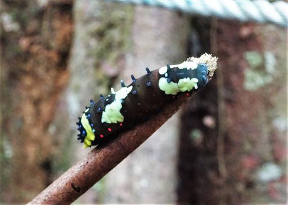 Die Raupe die sich in einen schönen Schmetterling verwandelt.