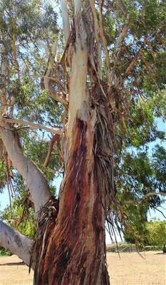 Der Stamm des Eukalyptusbaumes.