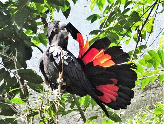 Der Schwarze Rotschwanz Kakadu