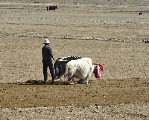 Bauer mit seinen Yak am eggen