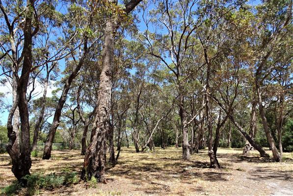 ....im Eukalyptuswald.