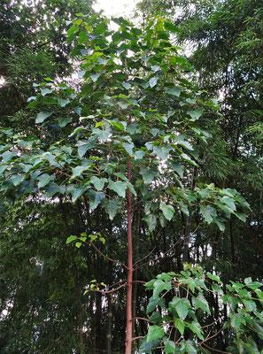 Ein junger Makademia Baum.
