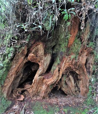 Die Wurzel eines umgestürzten Baumes.