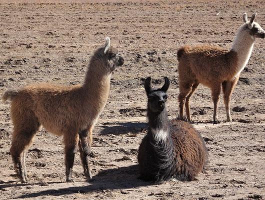 .....kleine Lama Herden.