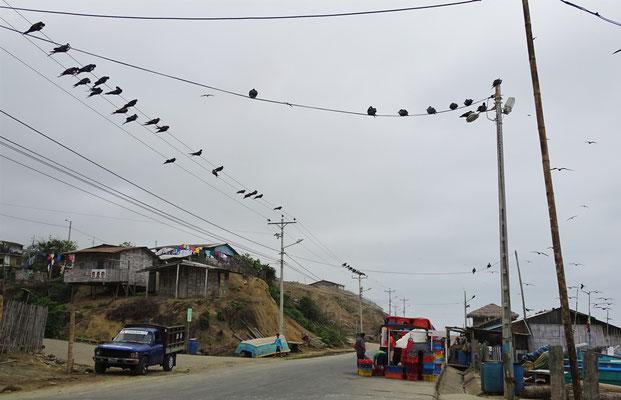 Fregattenvögel warten und.....