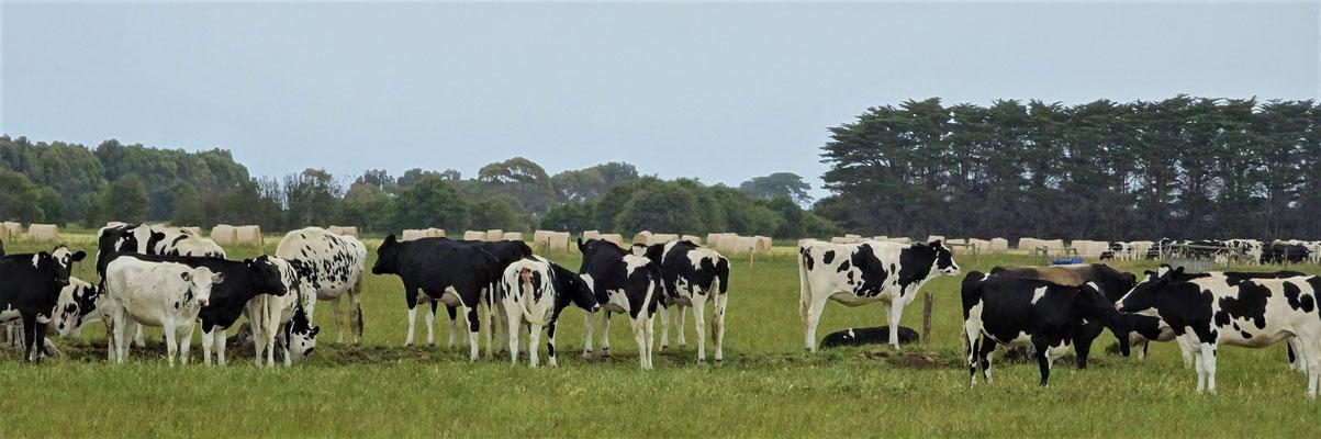 Viele Rinderfarmen.