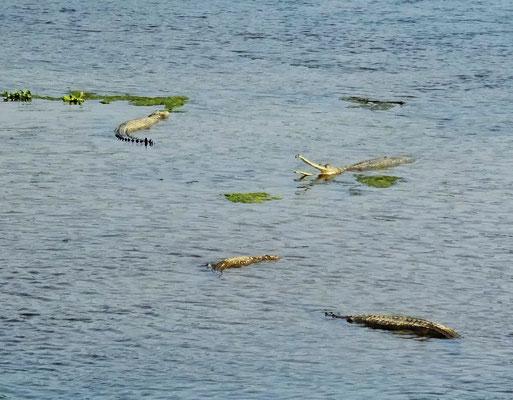 Gaviale fressen nur Fische....keine Touristen.
