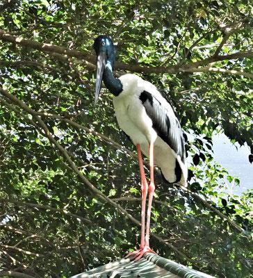 Der seltene Schwarzhals Storch.