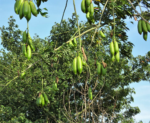 Eine Art des Brotfruchtbaumes.