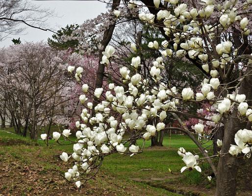 Dazwischen ein Magnolienbaum.
