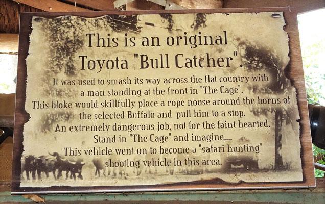 ...wurden Büffel eingefangen.