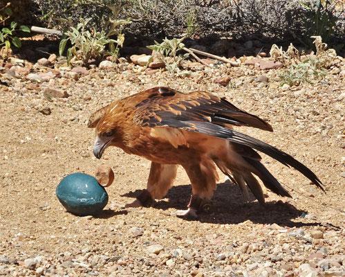 ....ein Emu Ei zu öffnen.