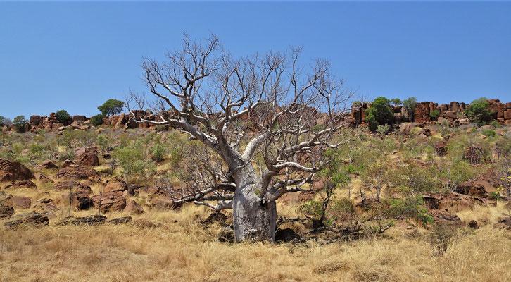 Die ersten Baobab......