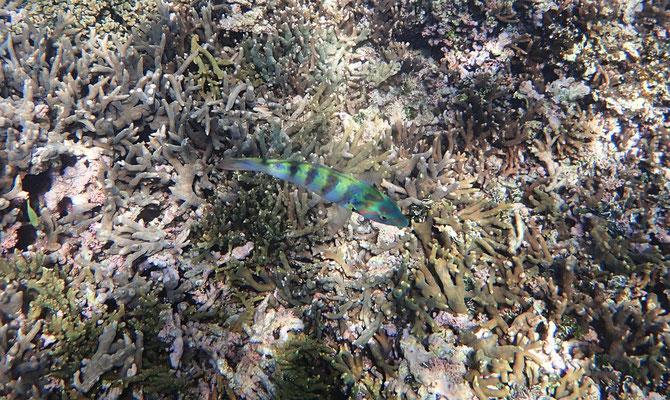 .....Korallen-Felsen.