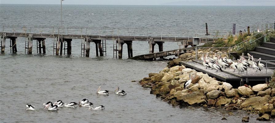 Viele Pelikane die in Kingscote....