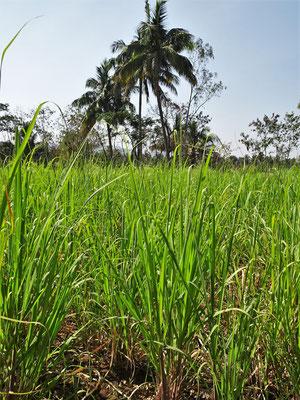 Ein junges Zuckerrohrfeld.