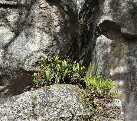 Eine Steinlilie, so heissen diese Pflanzen wirklich.