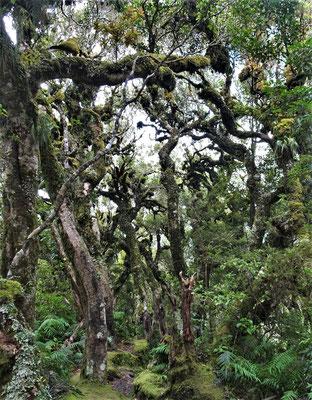 .....mit den knorigen, moosbewachsenen Bäume.