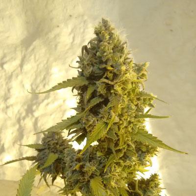 AK20 alerta kamarada semillas marihuana