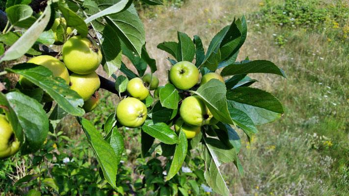 Die Äpfel wachsen :)