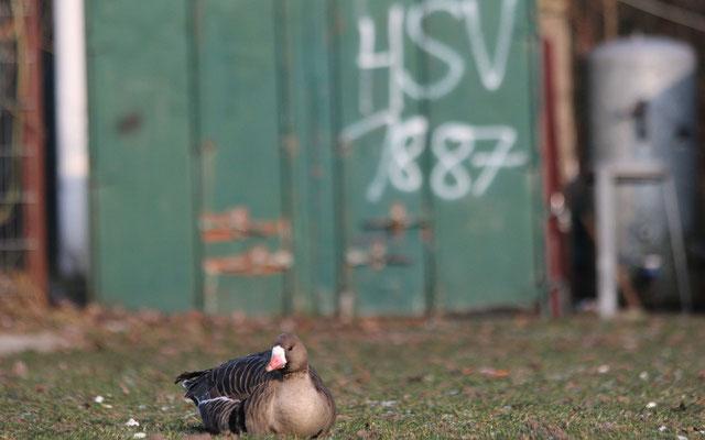 Unerschrockene Blässgans im urbanen Habitat