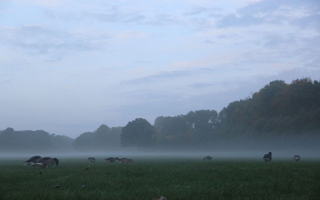 In vielen Bereichen können die Graugänse nur morgens fressen, da tagsüber der Freizeitdruck zu hoch ist