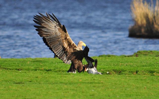 Vor Seeadlern sind Graugänse fast nirgendwo sicher | Foto: H. Daum