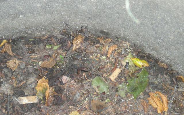 31 junge Erdkröten sind nur auf diesem kleinen Bildausschnitt zu sehen, gefangen in einem Gulli. (Foto: S. Hinrichs)