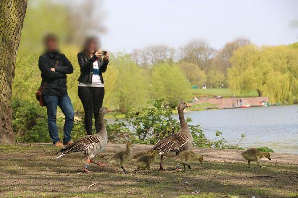 Graugansfamilie im Stadtpark