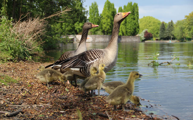 Graugansfamilie im Haynspark