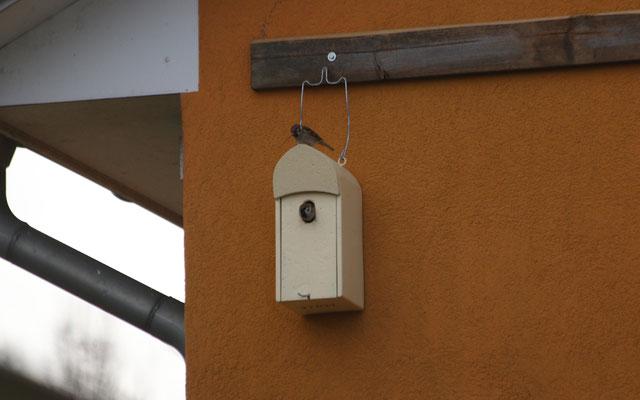 Feldsperlinge beim Nestbau.