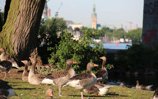 Mausernde Gänse müssen aufgrund ihrer Flugunfähigkeit immer in Ufernähe bleiben