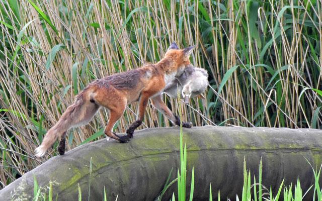 Der Klassiker: Fuchs du hast die Gans gestohlen | Foto: H. Daum