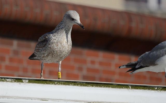 """Beringte Silbermöwe mit Blick auf den """"Futterplatz"""" (Foto: Beate Eisenhardt)"""