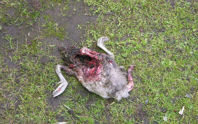 Vor allem junge Gänse werden häufig Opfer von Hundeattacken