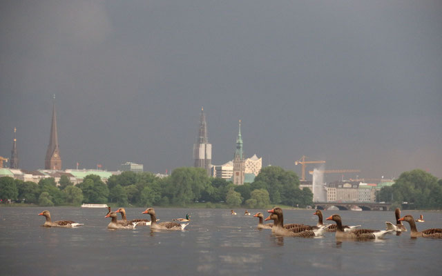 Bei schlechtem Wetter können die Gänse endlich ungestörter in den Parks fressen