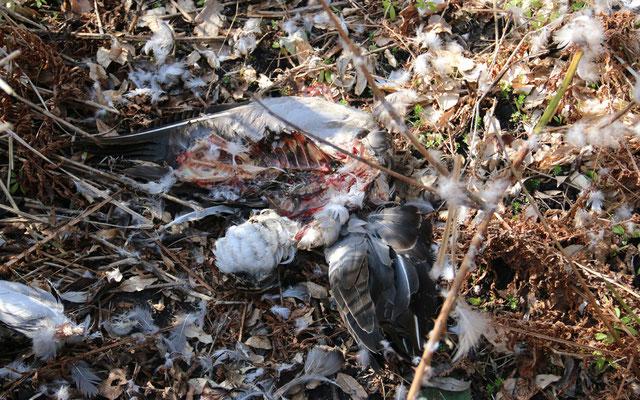 Regelmäßig werden brütende Gänse am Nest gerissen