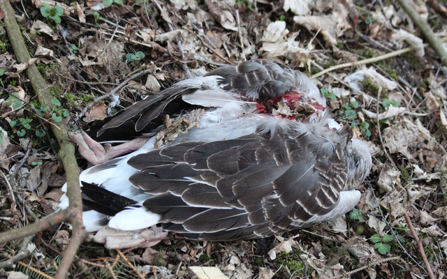 Regelmäßig werden Gänse am Nest gerissen