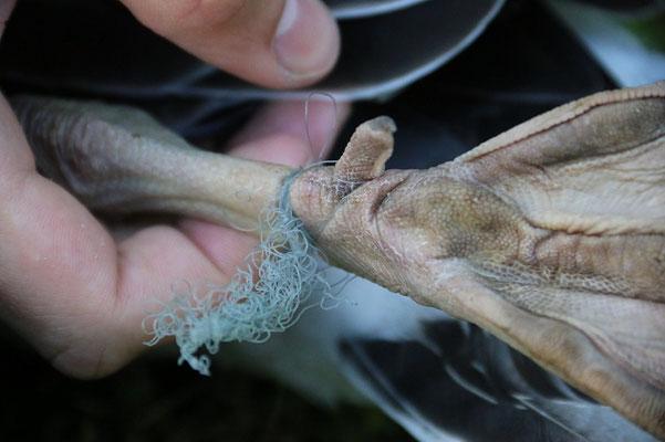 Junge Graugans wird von Plastikschnur befreit