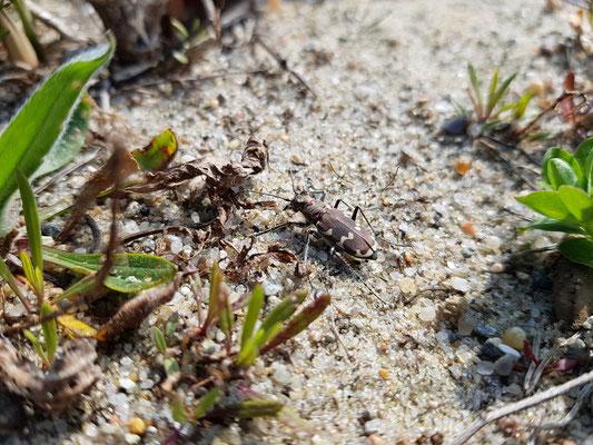 Die Dünen-Sandlaufkäfer (Cicindela hybrida) tummeln sich zu Hunderten.