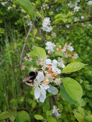 Im Mai fingen die Apfelbäume an zu blühen, den Hummeln schien es zu schmecken.