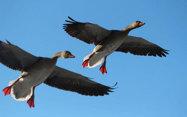Links fliegt der Jungvogel mit der hellen Brust und rechts der Altvogel mit den dunklen Punkten