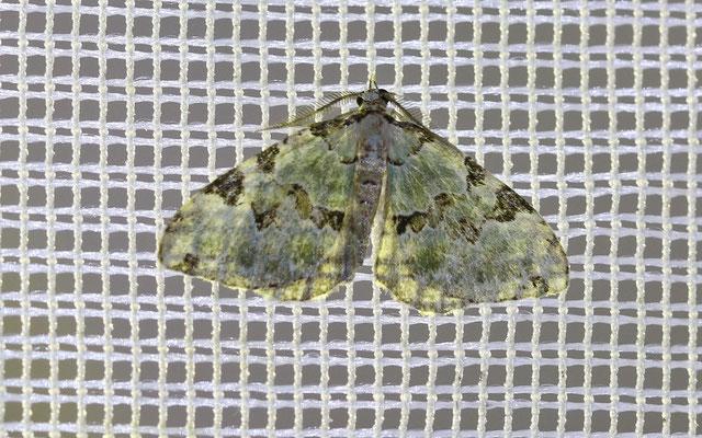 Prachtgrüne Bindenspanner (Colostygia pectinataria)