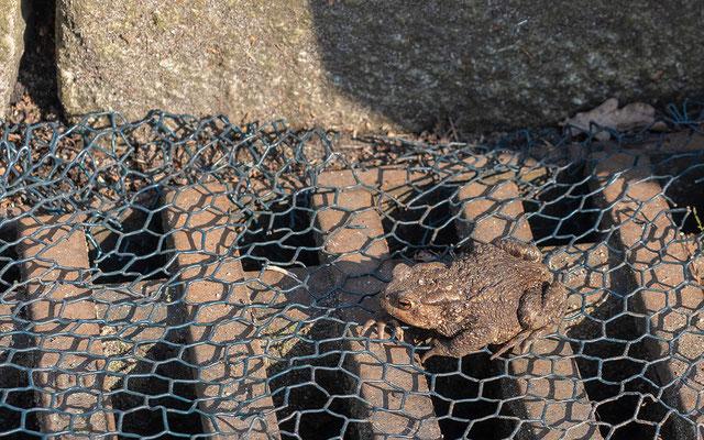 Ausgewachsene Kröten und Frösche können Dank des Drahtes nicht mehr hineinfallen. (Foto: B. Binnewies)