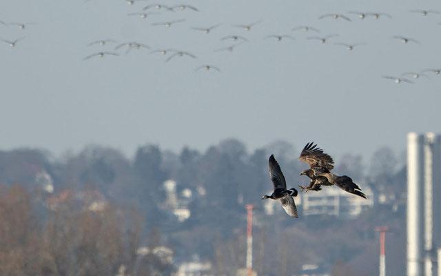Seeadler jagt Weißwangengans | Foto: T. Demuth
