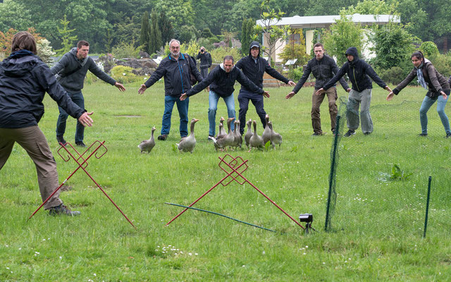 Für die Beringung werden die Graugänse in ein Gatter eingetrieben | Foto: B. Binnewies