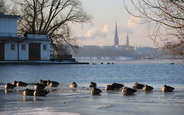 In kalten Wintern sammeln sich Gänse aus den unterschiedlichsten Gebieten an den letzten Eislöchern