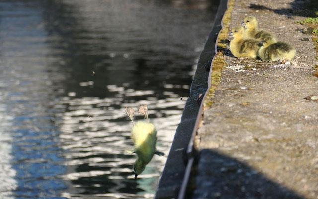 Bereits der Weg vom Nest zum Wasser ist oft nicht so einfach